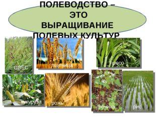 ПОЛЕВОДСТВО – ЭТО ВЫРАЩИВАНИЕ ПОЛЕВЫХ КУЛЬТУР ОВЁС ПШЕНИЦА просо кукуруза рож
