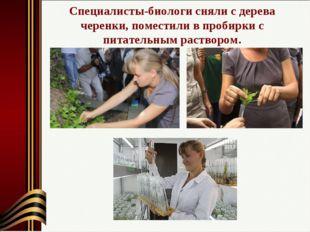 Специалисты-биологи сняли с дерева черенки, поместили в пробирки с питательны