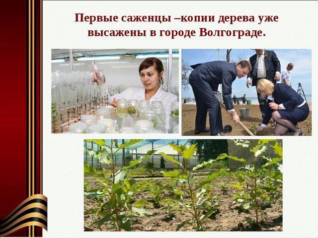 Первые саженцы –копии дерева уже высажены в городе Волгограде.