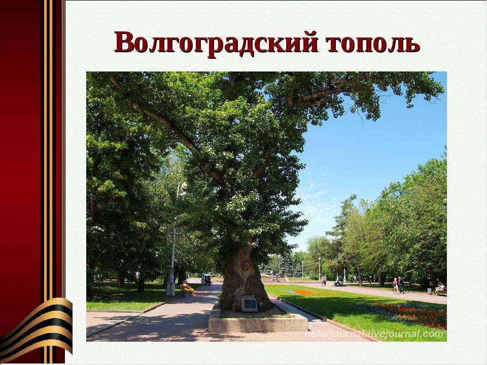 Волгоградский тополь