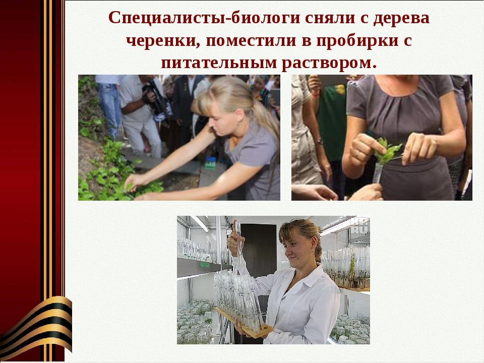 Специалисты-биологи сняли с дерева черенки, поместили в пробирки с питательны...