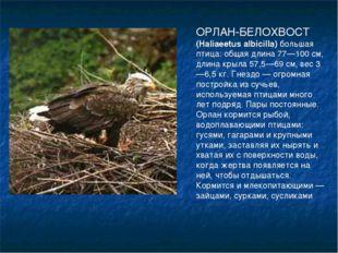 ОРЛАН-БЕЛОХВОСТ (Haliaeetus albicilla) большая птица: общая длина 77—100 см,