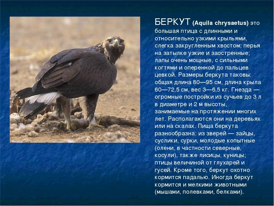 БЕРКУТ (Aquila chrysaetus) это большая птица с длинными и относительно узкими...