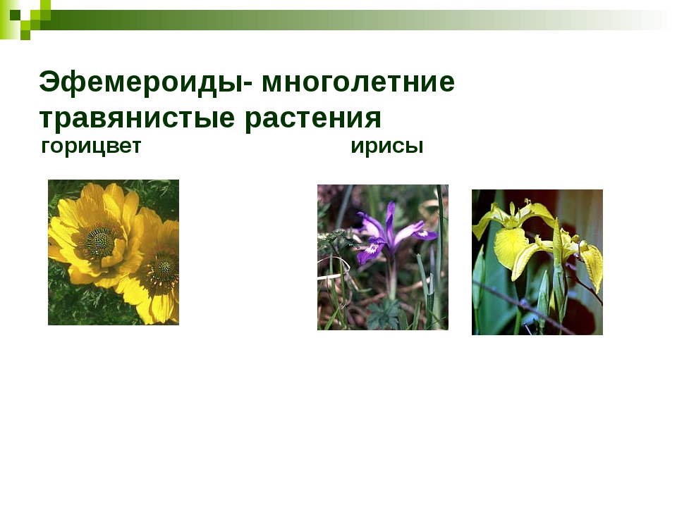 Эфемероиды- многолетние травянистые растения горицвет ирисы