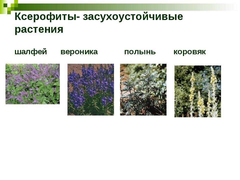 Ксерофиты- засухоустойчивые растения шалфей вероника полынь коровяк