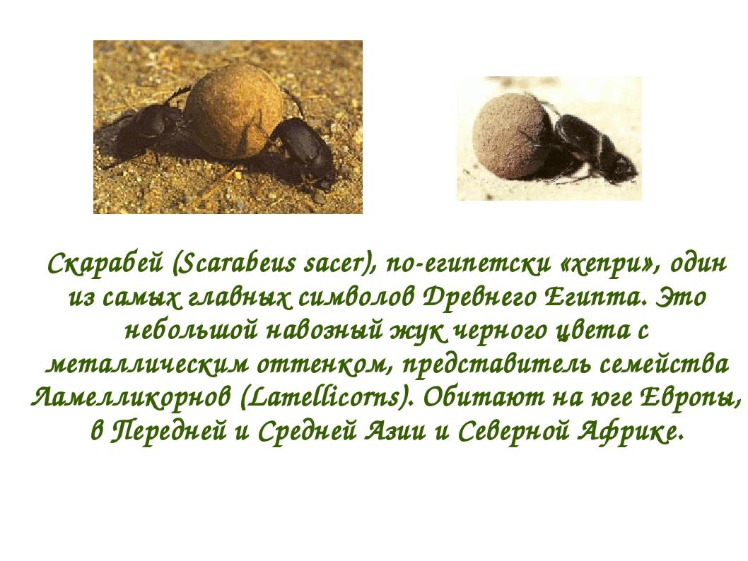 Скарабей (Scarabeus sacer), по-египетски «хепри», один из самых главных симво...