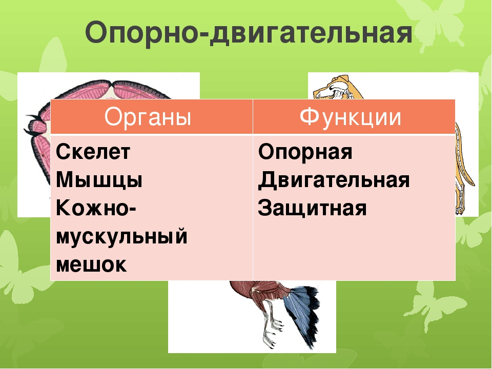 oporno-dvigatelnaya-sistema-organi-funktsii