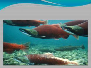Стайные рыбы – это лосось, кефаль, тунец и треска. Лососи живут в море, но,