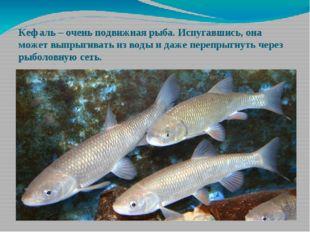 Кефаль – очень подвижная рыба. Испугавшись, она может выпрыгивать из воды и д