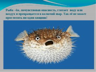 Рыба –ёж, почувствовав опасность, глотает воду или воздух и превращается в ко