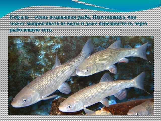 Кефаль – очень подвижная рыба. Испугавшись, она может выпрыгивать из воды и д...