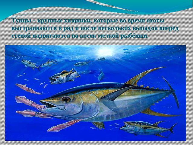 Тунцы – крупные хищники, которые во время охоты выстраиваются в ряд и после н...