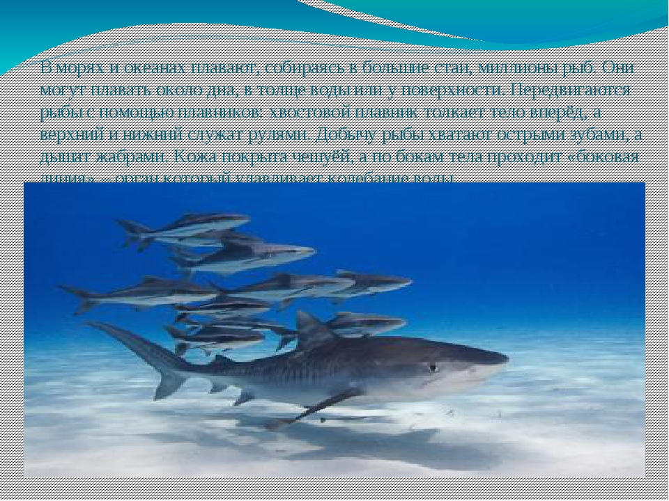 В морях и океанах плавают, собираясь в большие стаи, миллионы рыб. Они могут...