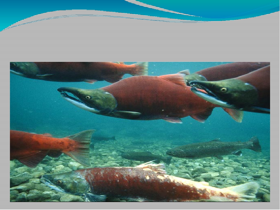 Стайные рыбы – это лосось, кефаль, тунец и треска. Лососи живут в море, но,...