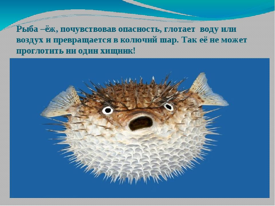 Рыба –ёж, почувствовав опасность, глотает воду или воздух и превращается в ко...