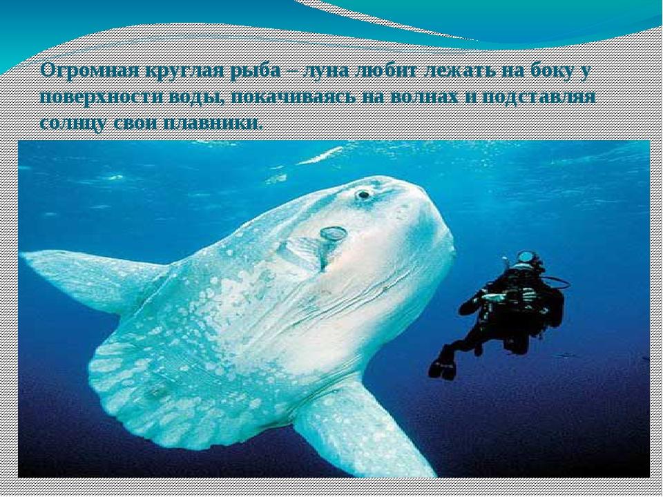 Огромная круглая рыба – луна любит лежать на боку у поверхности воды, покачив...