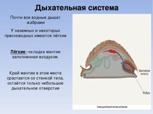 Дыхательная система Почти все водные дышат жабрами У наземных и некоторых пре