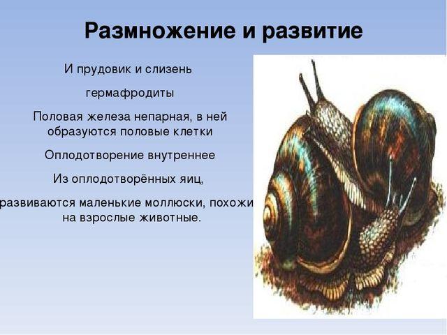 Размножение и развитие И прудовик и слизень гермафродиты Половая железа непар...