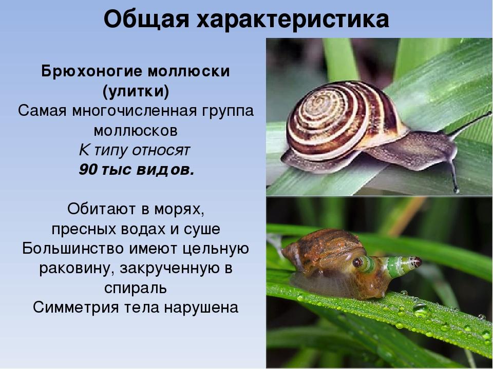 Общая характеристика Брюхоногие моллюски (улитки) Самая многочисленная группа...