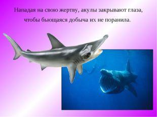 Нападая на свою жертву, акулы закрывают глаза, чтобы бьющаяся добыча их не по