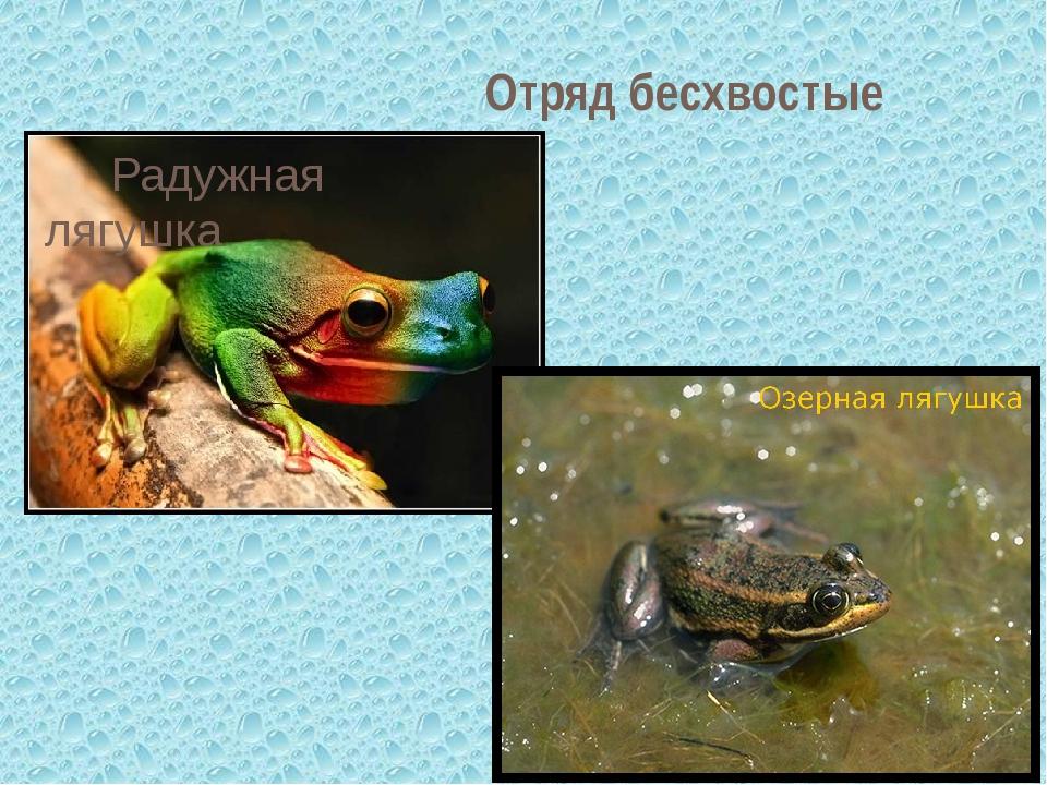 Отряд бесхвостые Радужная лягушка