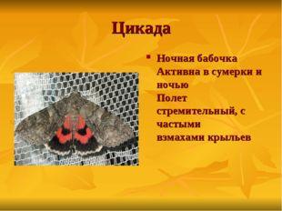 Цикада Ночная бабочка Активна в сумерки и ночью Полет стремительный, с частым
