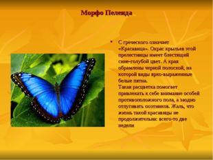 Морфо Пелеида С греческого означает «Красавица». Окрас крыльев этой прелестни