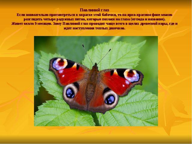Павлиний глаз Если внимательно присмотреться к окраске этой бабочки, то на яр...