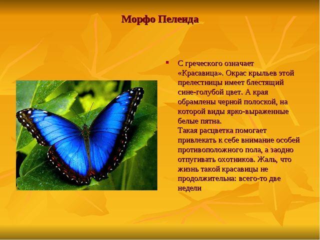 Морфо Пелеида С греческого означает «Красавица». Окрас крыльев этой прелестни...