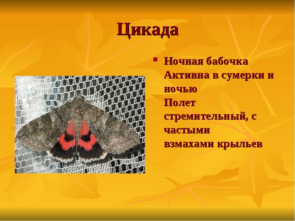 Цикада Ночная бабочка Активна в сумерки и ночью Полет стремительный, с частым...