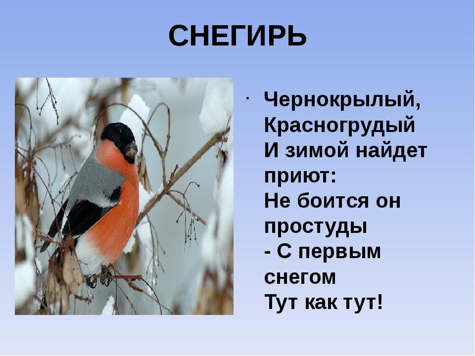 СНЕГИРЬ Чернокрылый, Красногрудый И зимой найдет приют: Не боится он простуды...