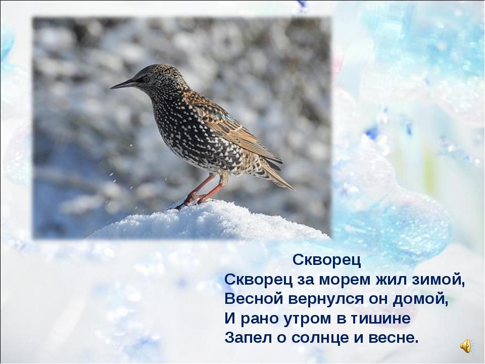 Скворец Скворец за морем жил зимой, Весной вернулся он домой, И рано утром в...