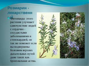 Розмарин - лекарственный Фитонциды этого растения улучшает самочувствие людей