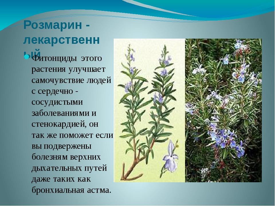 Розмарин - лекарственный Фитонциды этого растения улучшает самочувствие людей...