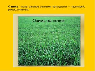 Озимь - поле, занятое озимыми культурами — пшеницей, рожью, ячменём.