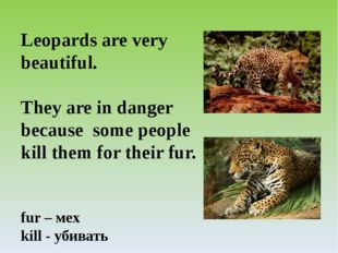 Leopards are very beautiful. They are in danger because some people kill them