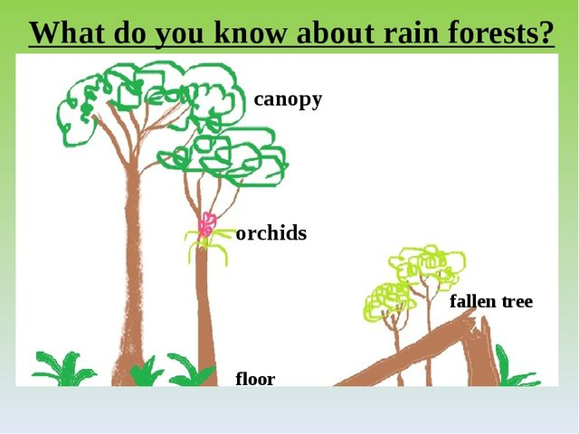 canopy orchids fallen tree floor What do you know about rain forests?