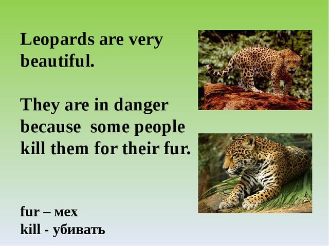 Leopards are very beautiful. They are in danger because some people kill them...