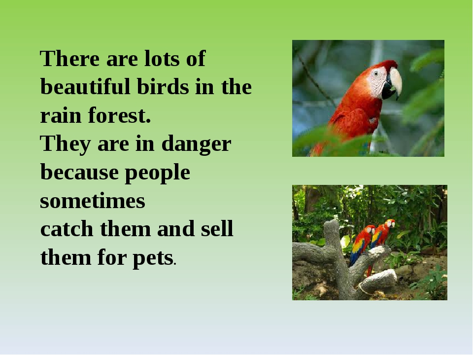 There are lots of beautiful birds in the rain forest. They are in danger beca...