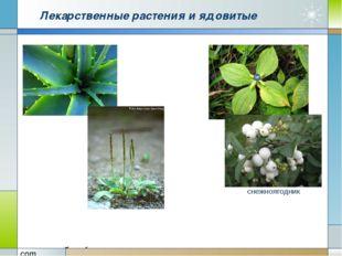 Лекарственные растения и ядовитые снежноягодник