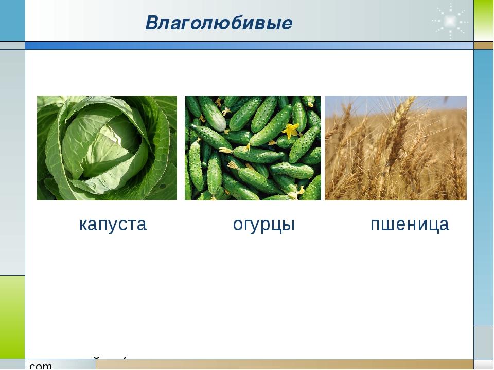 Влаголюбивые капуста огурцы пшеница