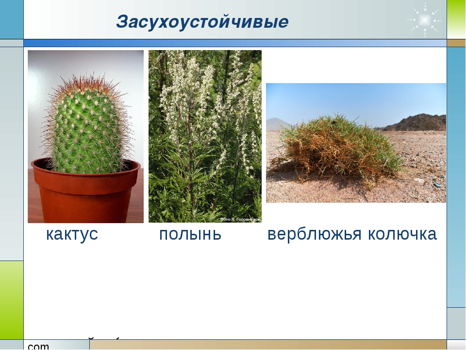 Засухоустойчивые кактус полынь верблюжья колючка