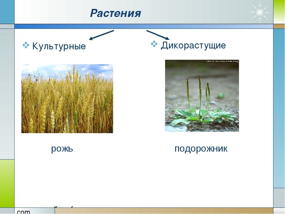 Растения Культурные Дикорастущие рожь подорожник