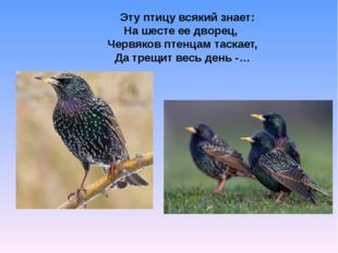 Скворец Эту птицу всякий знает: На шесте ее дворец, Червяков птенцам таскае