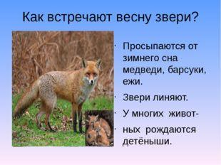 Как встречают весну звери? Просыпаются от зимнего сна медведи, барсуки, ежи.