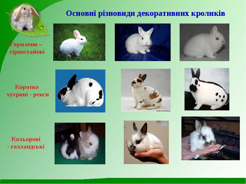 Основні різновиди декоративних кроликів Гермлени – гірностайові Коротко хутря...