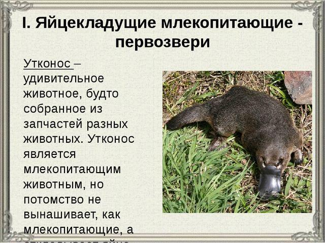 I. Яйцекладущие млекопитающие - первозвери Утконос – удивительное животное, б...
