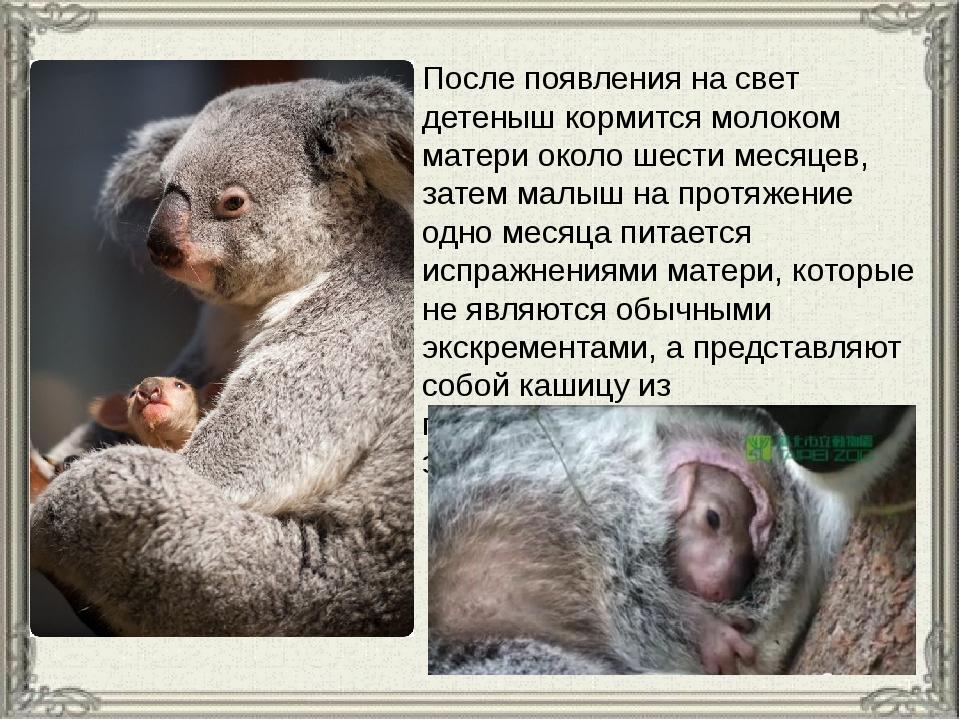 После появления на свет детеныш кормится молоком матери около шестимесяцев,...