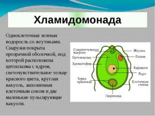 Хламидомонада Одноклеточная зеленая водоросль со жгутиками. Снаружи покрыта п