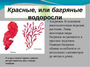 Красные, или багряные водоросли Багрянки. В основном многоклеточные морские р